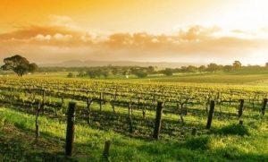 Winter light on Napa vineyard